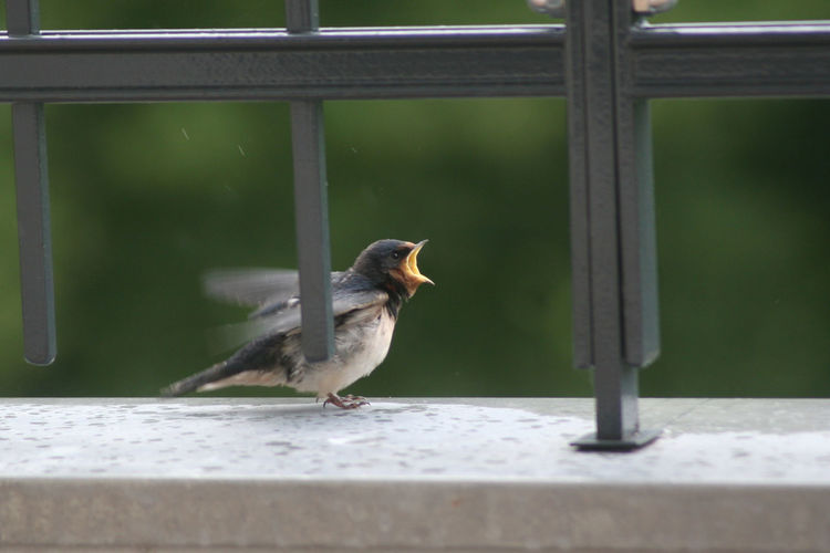 Young swallow perching on window