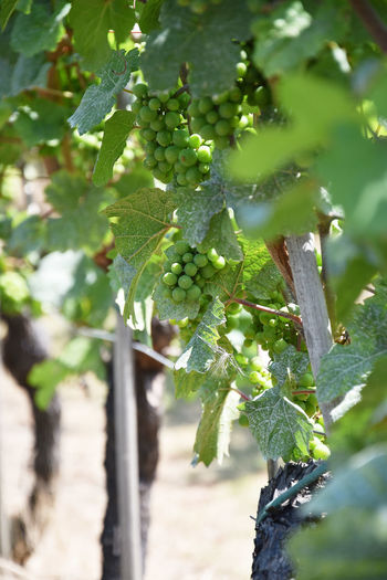 Grapes field in The Netherlands Agriculture Close-up Crop  Day Food Food And Drink Fruit Grape Green Color Growth Healthy Eating Landscape Leaf Nature No People Outdoors Plant Plant Part Plantation Vine Vineyard Winemaking