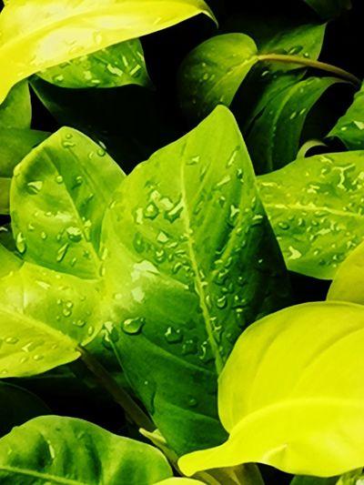 Mojito Leaf