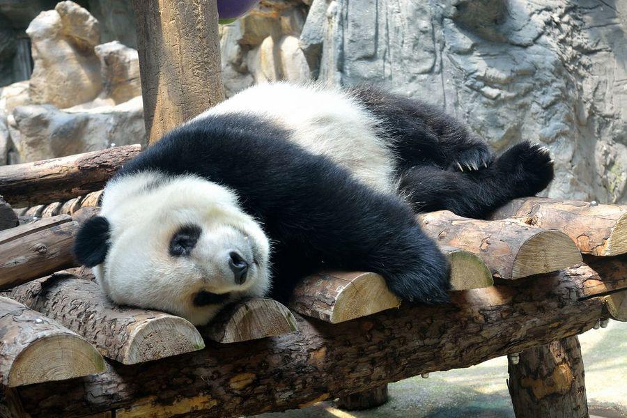 Panda PANDA ♡♡ Panda - Animal Pandashots Panda Bear Pandas♥ Animal Themes Giant Panda Animal In The Zoo Beijing Zoo China Animal Tourism