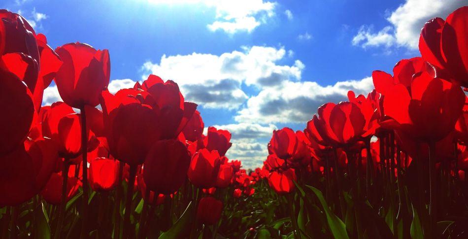 Holland Tulips🌷 Bankholidaymonday Mayday  2015  Flowerporn Bluesky Spring Flowers Travel Photography Coloursplash Translucent _Petals