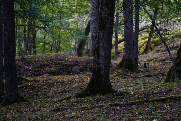 Beauty In Nature Day Environment Forest Growth Land Landscape Moss Nature No People Non-urban Scene Outdoors Plant Scenics - Nature Tranquil Scene Tranquility Tree Tree Trunk Trunk WoodLand