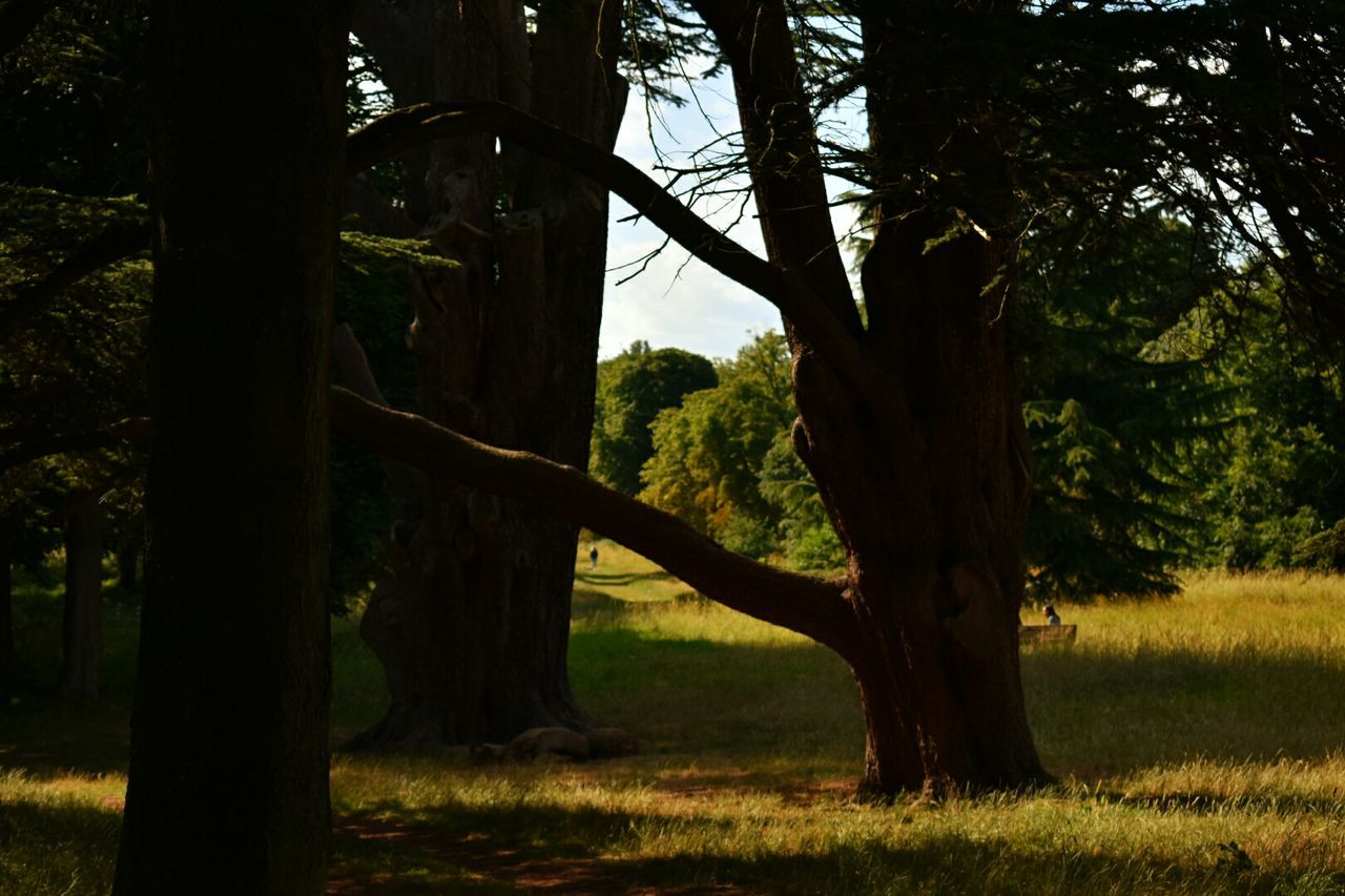 tree, tree trunk, nature, forest, tranquility, growth, landscape, tranquil scene, grass, field, no people, outdoors, scenics, beauty in nature, day, branch, sky