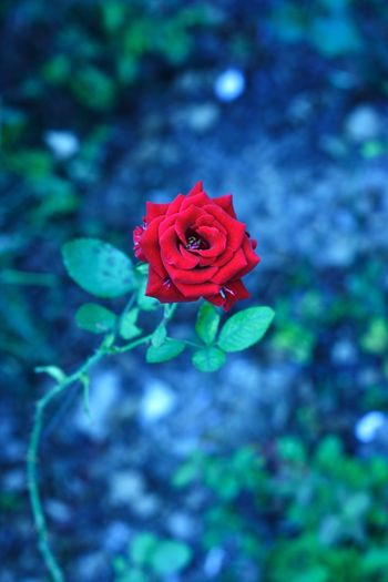 Flower Rose - Flower Red Petal Fragility Nature Beauty In Nature Growth Flower Head Plant No People Focus On Foreground Freshness Day Outdoors Leaf Green Color Blooming Close-up I Want To Know Your Secret, C I Always Thinking About U, G Thank You,❤️ 감사합니다