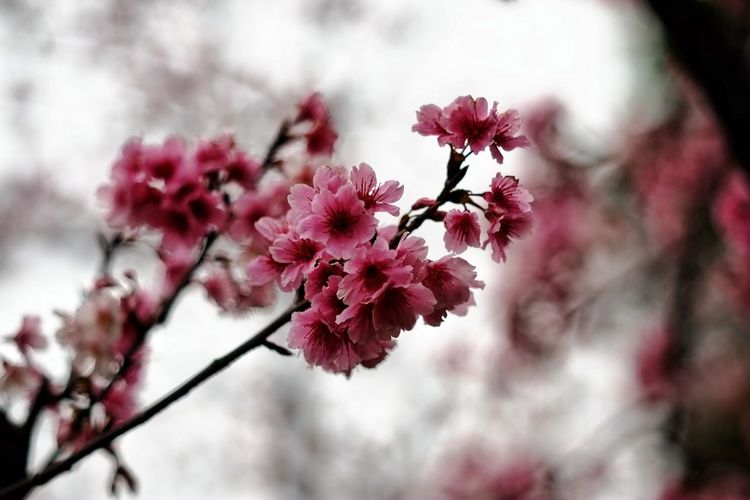 Flower Head Tree Flower Branch Springtime Pink Color Red Blossom Petal Close-up Apple Blossom Plum Blossom Twig Cherry Blossom Botany Almond Tree Almond Tree In Bloom Fruit Tree Stamen Cherry Tree Bud Pollen Rhododendron Blooming Apple Tree Day Lily Hibiscus Lily Pistil