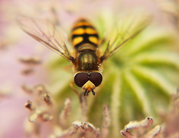 EyeEm Selects Insect One Animal Animals In The Wild Nature Freshness Outdoors Bee Plant Hover Hoverfly Hoverflies Flower Stigma Poppy Poppy Flowers Poppy Flower Poppies In Bloom Pollution In My World Pollenation Pollenator Pollenating Pollenate Close-up Day Animal Wildlife