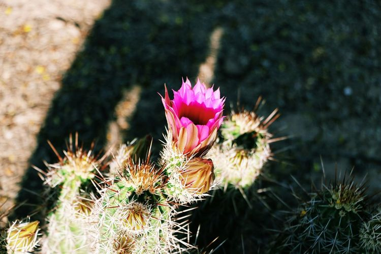 Roaming In The Desert Tucstucson Beautiful Flower
