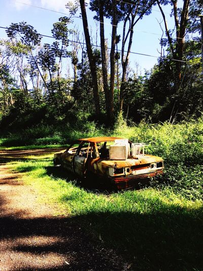 Came across this Abandoned Car turning to Rust on my Morning Walk Mode Of Transport Transportation Cars Old Car Orange Color Green Color Decay Grass Sunlight Trees Nature Beauty Of Decay Non-urban Scene No People Forest Big Island Hawaii Puna Return To Nature Rural Scene Backroads