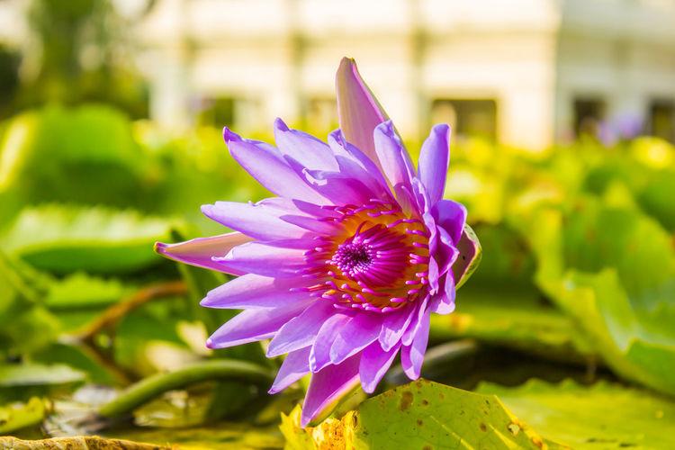 Pink violet or