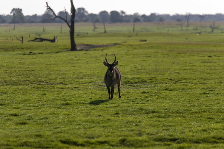 Waterbuck standing in a field