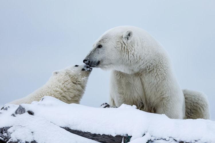 Close-up of polar bears against sky