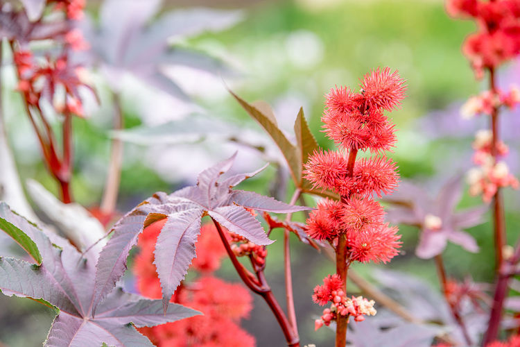 Close-up of red flowering plant during autumn