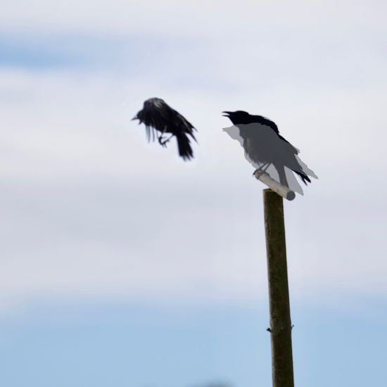 Start Up Crow (I should have enlarged the flying crowd a little bit!) Animal Themes Animal Wildlife Animals In The Wild Autumn Bird Clouds And Sky Day Low Angle View Montage Photography Nature No People One Animal Outdoors Perching Pole Sky Spread Wings
