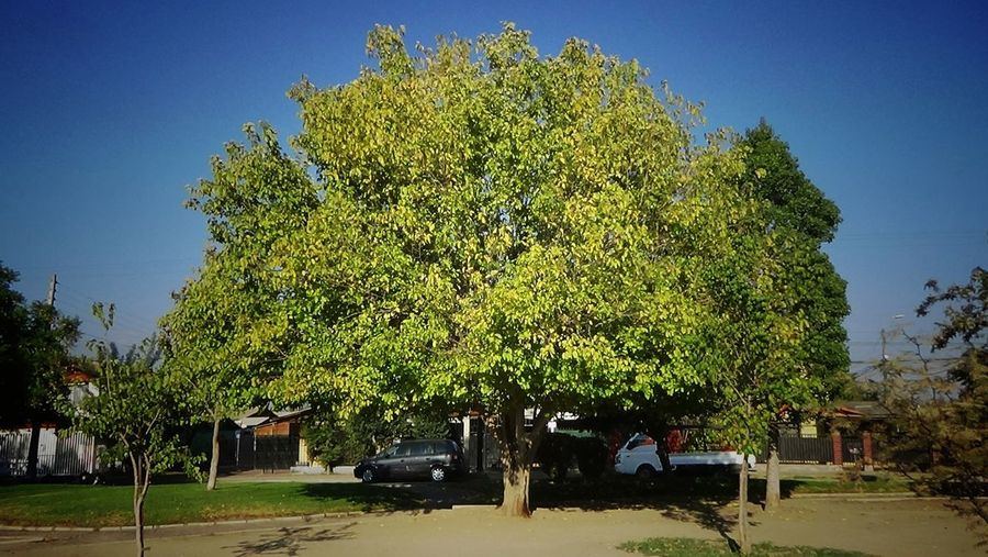 Tree Nature Chile♥ Trees Of Chile Leaf Tree Multi Colored Beauty In Nature Autumn