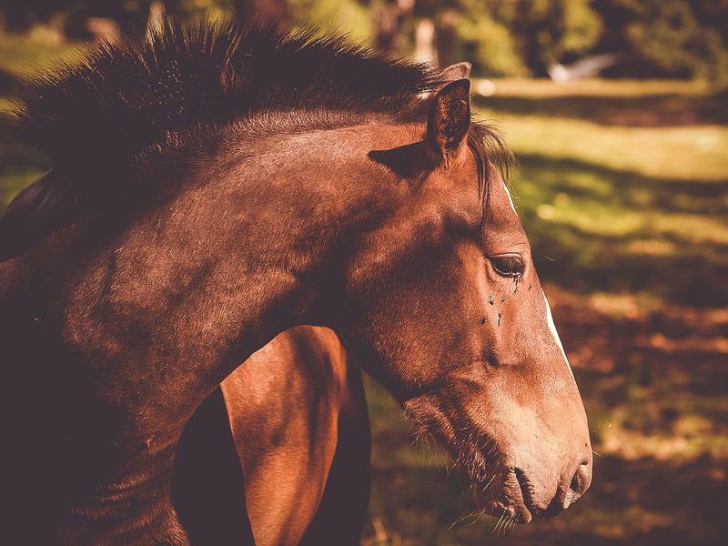 brown horse Animal Animal Body Part Animal Head  Animal Themes Animal Wildlife Brown Day Domestic Domestic Animals Field Focus On Foreground Herbivorous Horse Land Livestock Mammal Nature No People One Animal Outdoors Pets Ranch Vertebrate