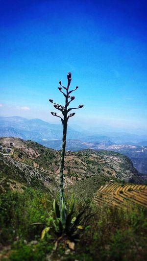 sembradios Tree