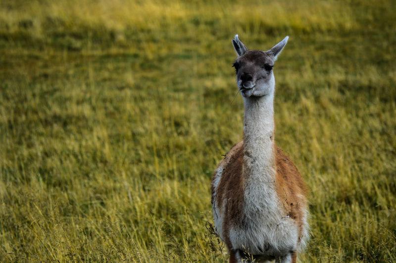 Portrait of guanaco standing in field