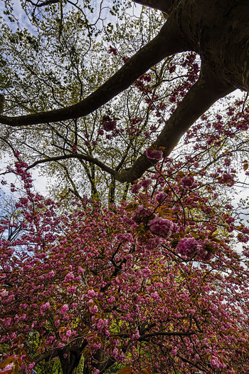Low angle view of pink flowering tree