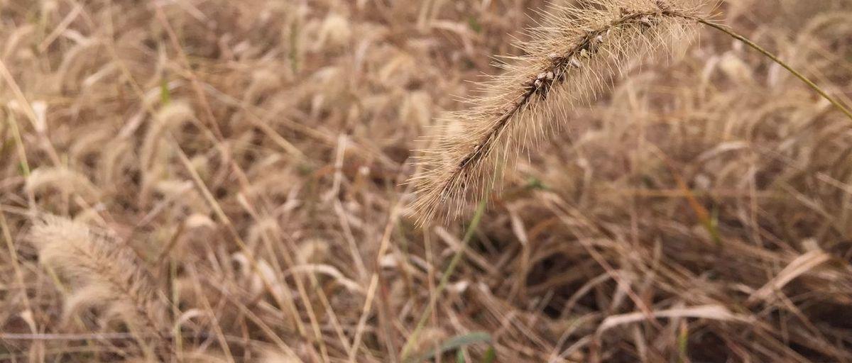 华农 野草 Lonely Grass