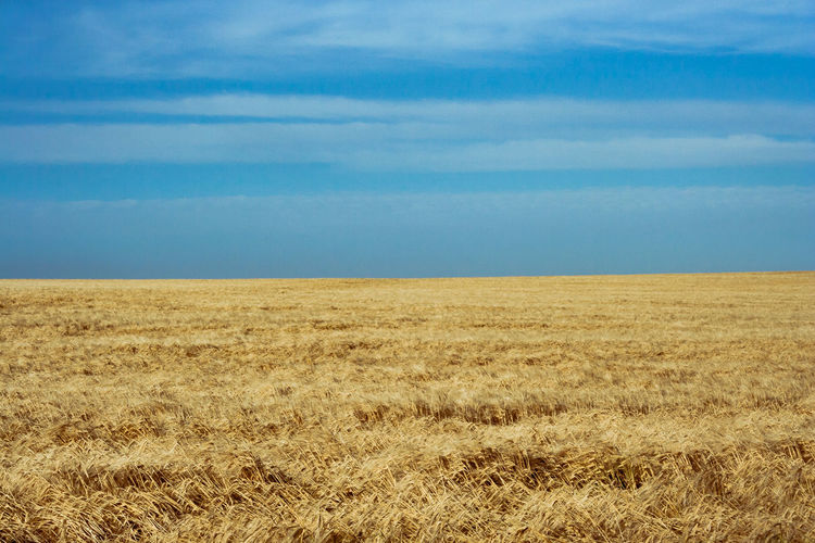 Wheat Agriculture Beauty In Nature Blue Cereal Plant Day Field Growth Horizon Horizon Over Land Landscape Nature No People Outdoors Rural Scene Scenics Sky Tranquil Scene Tranquility Wheat