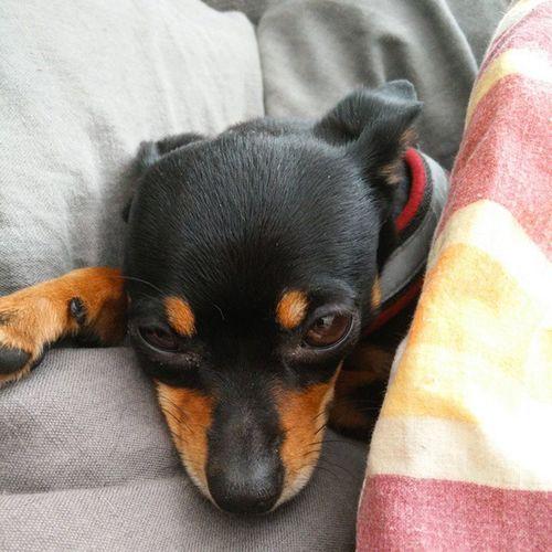 Liten tjej som är sömnig i sängen. 😍 Praskykrysarik Kennelmidnightlux