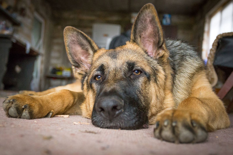 Animal Themes Best Man's Friend Close-up Day Dog Domestic Animals German Shepherd Indoors  Looking At Camera Lying Down Mammal No People One Animal Paws Pet Photography  Pets Portrait Relaxation Strong