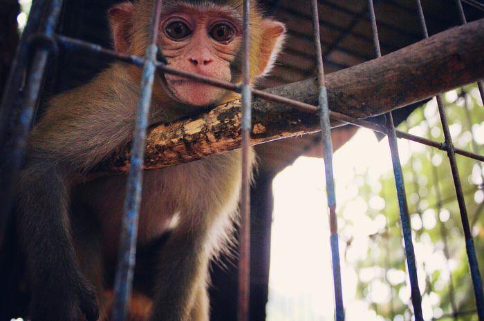 Monkey Notfree Thaïlande Travel Animal