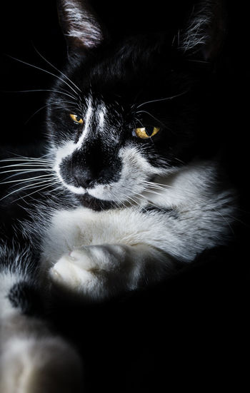 Animal Themes Black Background Black Color Cat Cat Portrait Cat Pose Close-up Day Domestic Animals Domestic Cat Feline Indoors  Mammal No People One Animal Pets Portrait Sitting Whisker Yellow Eyes
