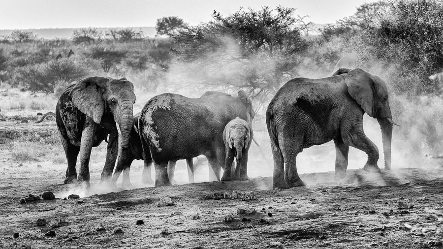 Elephant herd in field