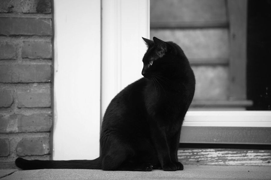 A black cat sits on a stoop in a suburban neighborhood in black and white Black Cat Outside Cats Pets Domestic Cat Feline Mammal Vertebrate Outdoors Daytime Portrait Meow Blackandwhite Stoop Sitting Suburbia Residential Building Profile View Face Whisker Looking Brick Wall Beautful Full Body Wall - Building Feature
