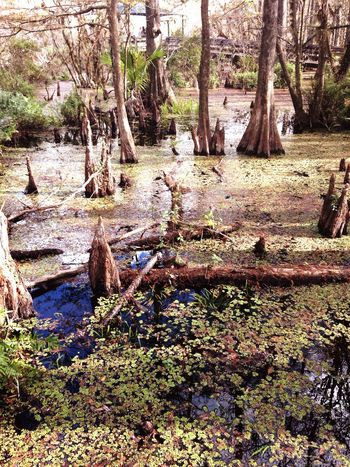 Tree Tree Trunk Nature Growth Tranquility Outdoors Beauty In Nature Scenics No People Forest Day Water Grass