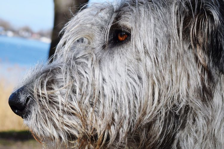 One Animal Animal Body Part Animal Head  Animal Themes Animal Eye A Walk In The Park Winter 2017 March 2017 Close-up Cearnaigh Irish Wolfhound Dogs Of WinterDogslife Dogs Of EyeEm Dog Of The Day Bokeh Portrait Dogwalk