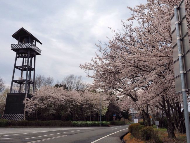 Sakura Trees Sakura Highway