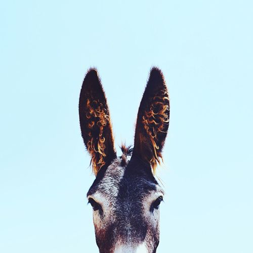 Copy Space Animal Themes Clear Sky Livestock Domestic Animals Low Angle View Mammal No People Outdoors Nature Day Sky FUNNY ANIMALS Ears Ears Up Israel Donkey Blue Blue Sky Wild Animal Wildlife & Nature Wildlife Photography Minimalism Minimal Ear Break The Mold Fresh On Market 2017