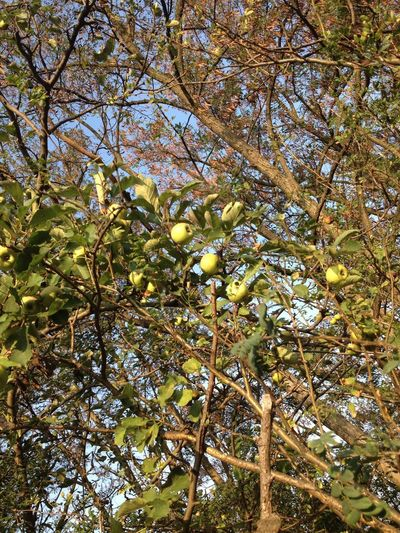 Green apples Apples Plant Tree Growth Low Angle View Beauty In Nature No People Full Frame Nature Green Color