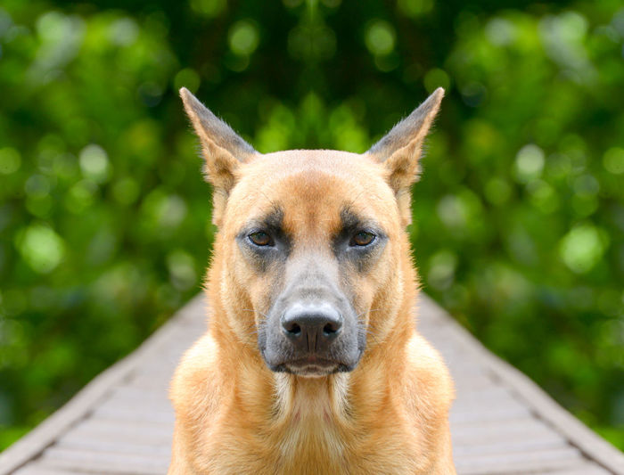Close-Up Portrait Of Dog On Boardwalk