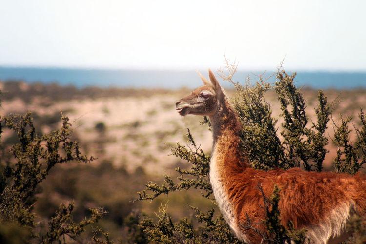Llama on field against clear sky