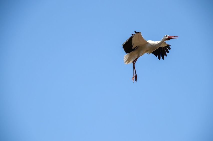 Permission to land I Nature Photography Nature_collection Birds_collection Bird Photography Bird Animal Animal Themes Flying Vertebrate Animal Wildlife Animals In The Wild Mid-air Nature Spread Wings White Stork Flapping Feather