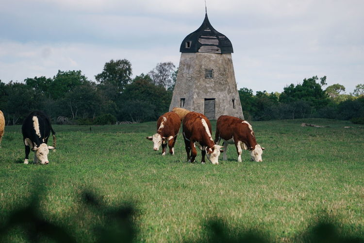 on the countryside Animal Animal Themes Cow Cows Idyllic Scenics Scenery Landscape Gotland Mill Politics And Government Tree Agriculture History Sky Grass Architecture Built Structure Livestock Cow Domestic Cattle Highland Cattle Grazing Farmland Dairy Farm Farm Animal Domesticated Animal Tag Calf