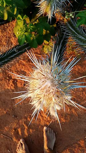 """Mandacaru"" - BA - Brasil Nordestemeulindo Nordeste Brasileiro Beauty In Nature Close-up Outdoors No People Like4like Falow4falowback Falow4Falow Falowforfalow Nordestepuro Nordesteemfotos Mandacarufotoclube Mandacaru Fotos Fotoshooting Fotos Populares Fotosession Instagood Instaphoto Instadaily Instalike Instalove Lovefotography Loveforphotography"