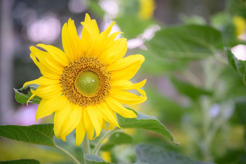 Sunflower in