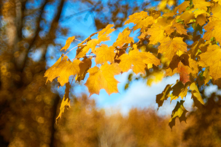 The Gold of the Maple Autumn Beauty In Nature Botany Close-up Helios 44-2 Leaf Maple Leaf Nature Orange Color Sky Tree