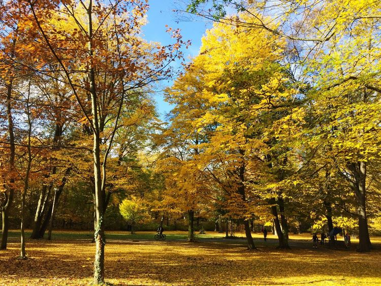 Fall Scenery Fall Beauty Fall Colors Park Park - Man Made Space Berlin Park Pankow Autumn Autumn Colors Autumn Leaves Herbststimmung Herbst Herbstspaziergang Herbstfarben Herbst In Seinen Schönsten Farben Fall Leaves Seasons Sunny Day Fall Sun Autumn Sky Yellow Yellow Nature Leaves Park Scene Nature