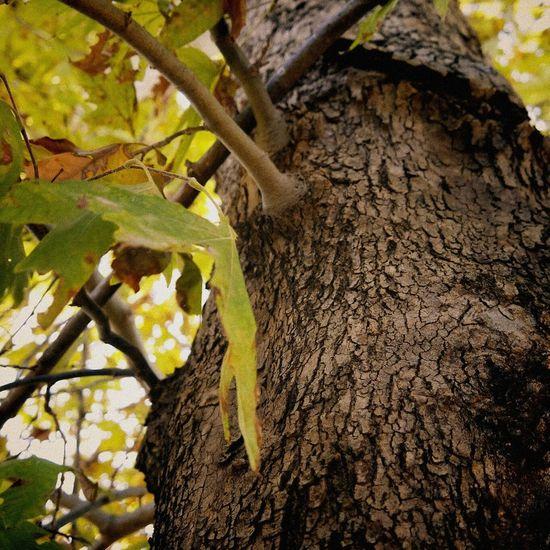 çınar Ağacı. çınar