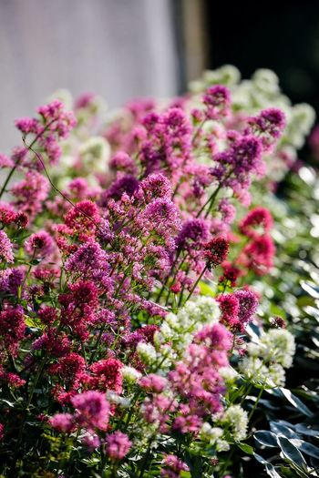 Flower party in the walls Flowering Plant Flower Plant Growth Pink Color Beauty In Nature Freshness Vulnerability  Fragility No People Nature Close-up Day Focus On Foreground Selective Focus Petal Botany Outdoors Flower Head Inflorescence