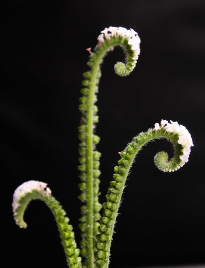 Close-up of fern plant against black background