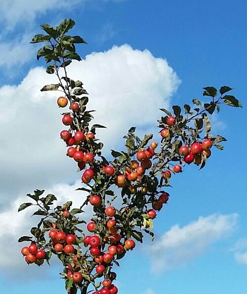 One of the trees in the community orchard Chorleywood. Fruit Growth Freshness Branch Cloud - Sky Apples Chorleywood Herts Crab Apple Tree