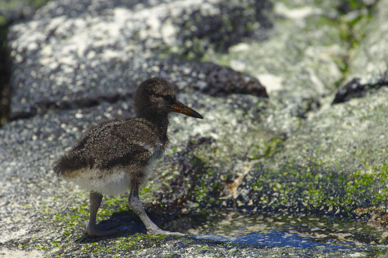 J'ai eu la chance, lors de mon séjour aux Galapagos, de voir grandir un jeune Huitrier d'Amérique, pendant les trois premières semaines de sa vie. En voici quelques photos. Age: 16 jours. While staying in Galapagos, I got to see a young American Oystercatcher grow during its first three weeks. Here are some pictures. 16 days old. Animals In The Wild Baby EyeEm Nature Lover Galapagos Growing Nature Nature Photography Wildlife & Nature Wildlife Photography Young Animal Themes Animal Wildlife Beauty In Nature Bird Birth Blackandwhite Cute Haematopus Palliatus Nature_collection Oystercatcher Sand Sea Seaside Series Wildlife The Traveler - 2018 EyeEm Awards