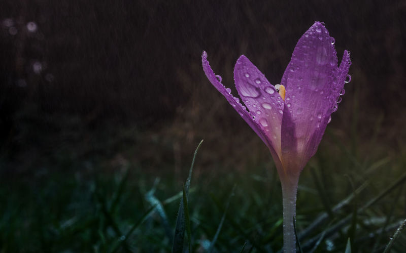 EyeEm Best Shots EyeEm Nature Lover EyeEmNewHere Rain Raindrops Rainy Days Beauty In Nature Close-up Drop Flower Flower Head Focus On Foreground Fragility Freshness Growth Nature Night No People Outdoors Petal Plant Purple Water Wet EyeEmNewHere