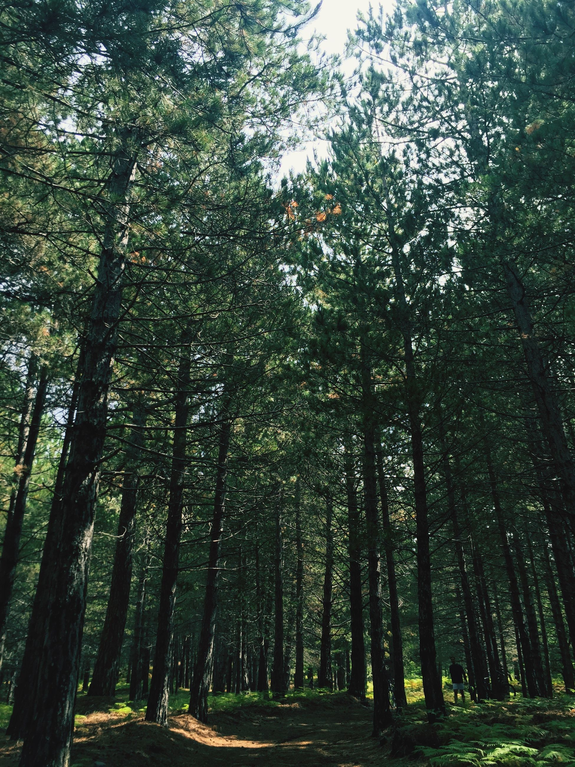 tree, growth, tree trunk, tranquility, nature, green color, tranquil scene, landscape, tall - high, branch, beauty in nature, solitude, scenics, day, non-urban scene, woodland, outdoors, green, freshness, remote, growing, lush foliage, countryside, no people, the way forward, long